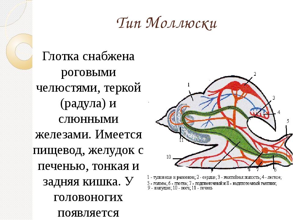 Тип Моллюски Глотка снабжена роговыми челюстями, теркой (радула) и слюнными ж...