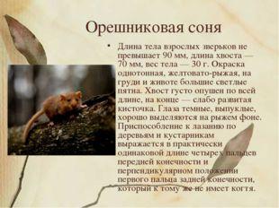 Орешниковая соня Длина тела взрослых зверьков не превышает 90 мм, длина хвост
