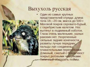Выхухоль русская Один из самых крупных представителей отряда: длина тела 18—2