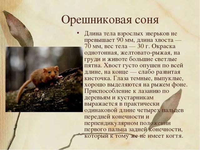 Орешниковая соня Длина тела взрослых зверьков не превышает 90 мм, длина хвост...
