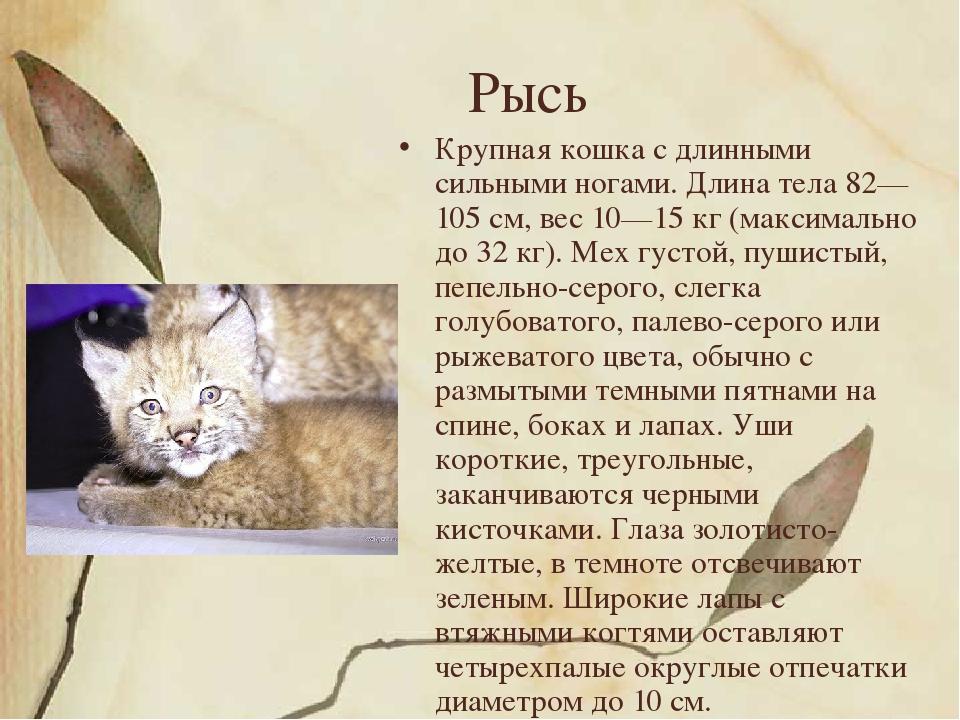 Рысь Крупная кошка с длинными сильными ногами. Длина тела 82—105 см, вес 10—1...