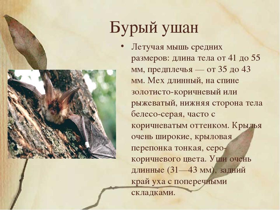Бурый ушан Летучая мышь средних размеров: длина тела от 41 до 55 мм, предплеч...
