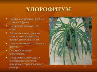 ХЛОРОФИТУМ Родина- субтропики Европы и тропики Африки. Насчитывается около 22