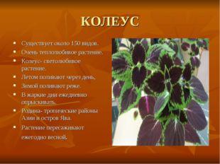 КОЛЕУС Существует около 150 видов. Очень теплолюбивое растение. Колеус- свето
