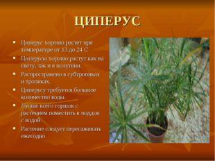 ЦИПЕРУС Циперус хорошо растет при температуре от 13 до 24 С Циперусы хорошо р