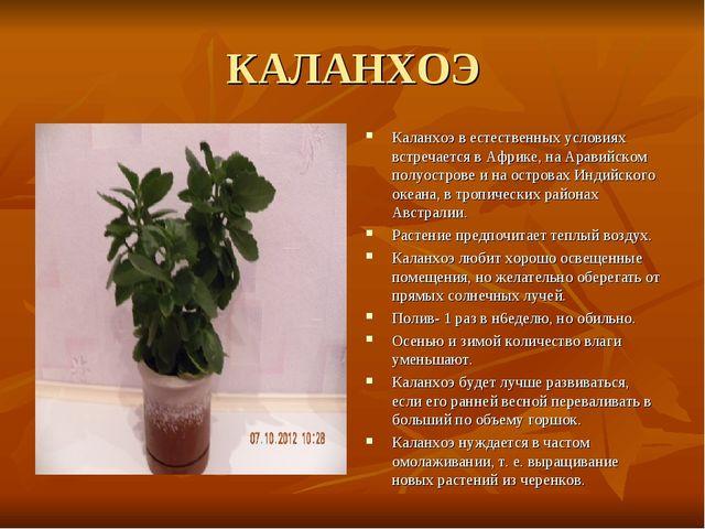 КАЛАНХОЭ Каланхоэ в естественных условиях встречается в Африке, на Аравийском...