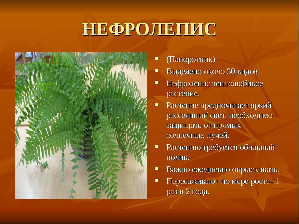 НЕФРОЛЕПИС (Папоротник) Выделено около 30 видов. Нефролепис теплолюбивое раст...