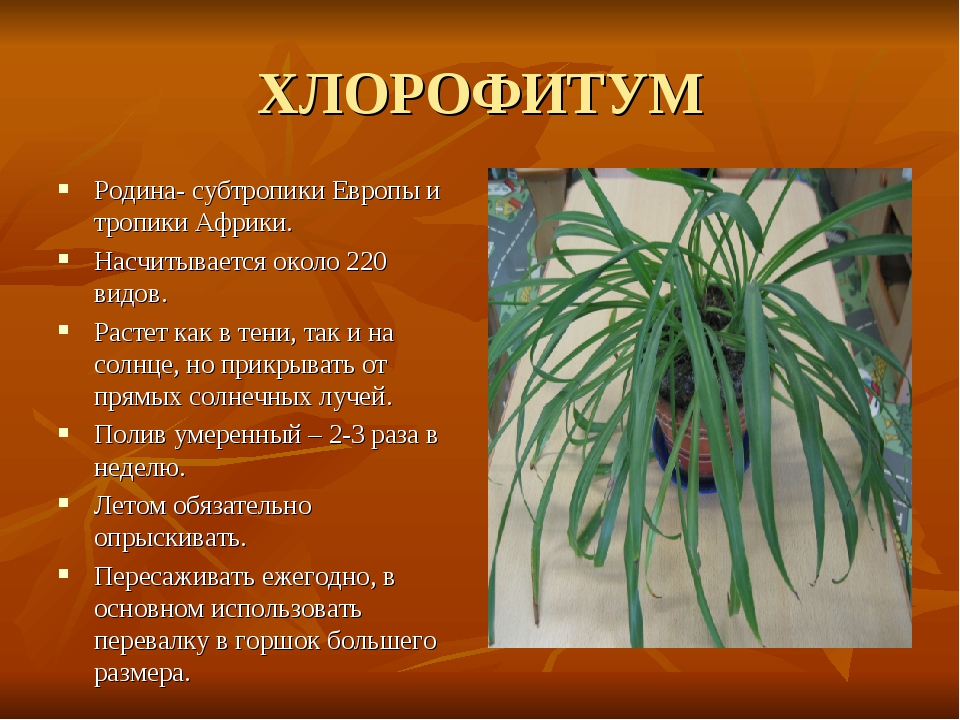 ХЛОРОФИТУМ Родина- субтропики Европы и тропики Африки. Насчитывается около 22...