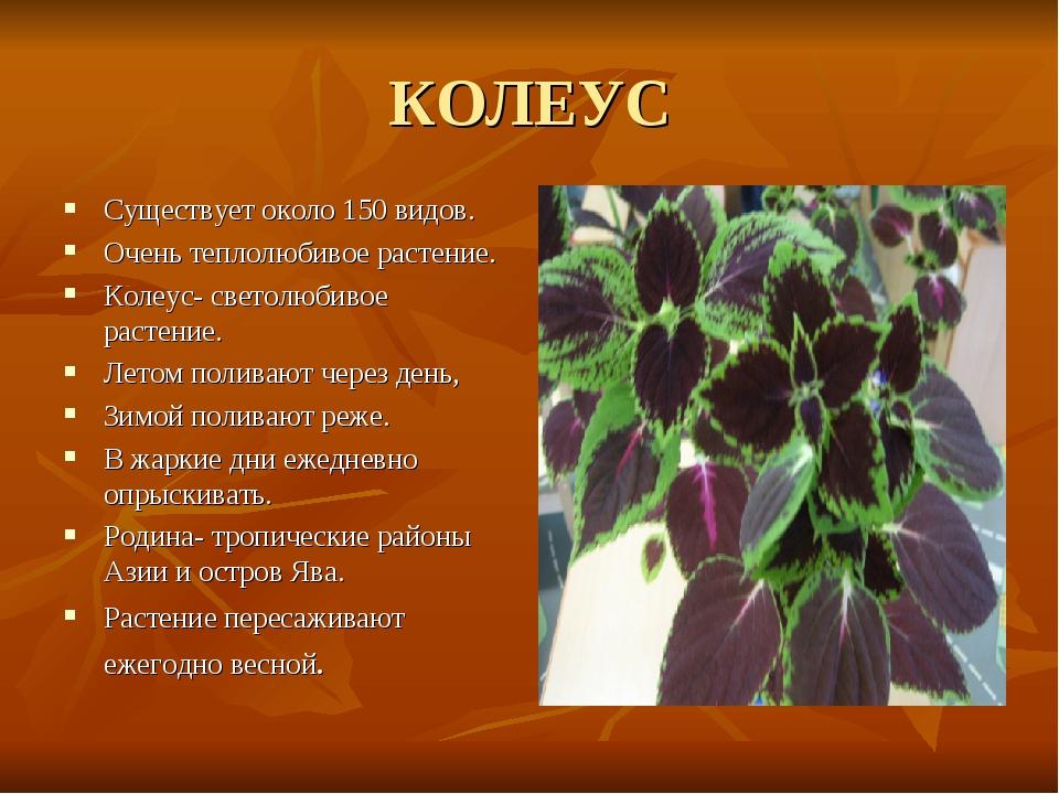 КОЛЕУС Существует около 150 видов. Очень теплолюбивое растение. Колеус- свето...