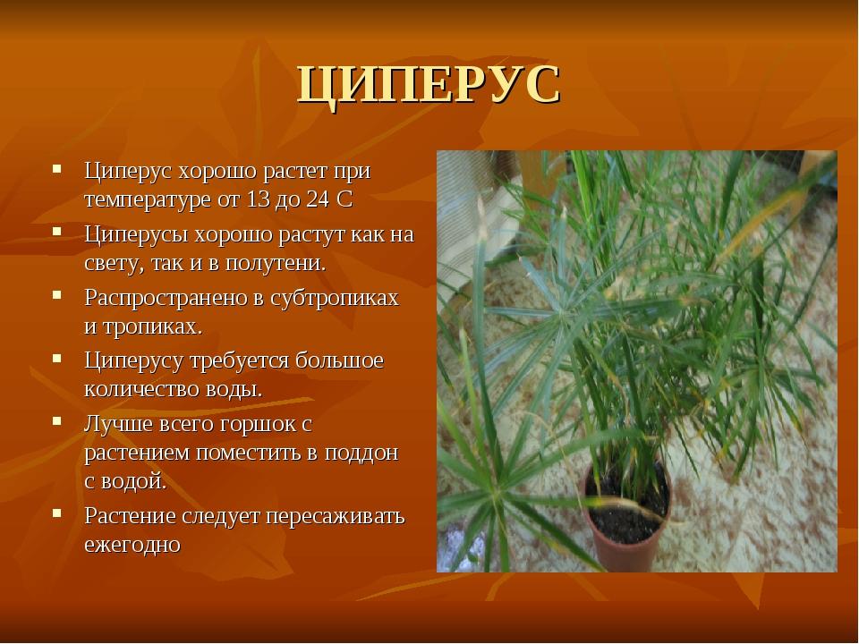 ЦИПЕРУС Циперус хорошо растет при температуре от 13 до 24 С Циперусы хорошо р...