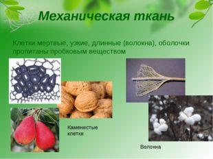 Механическая ткань Клетки мертвые, узкие, длинные (волокна), оболочки пропита