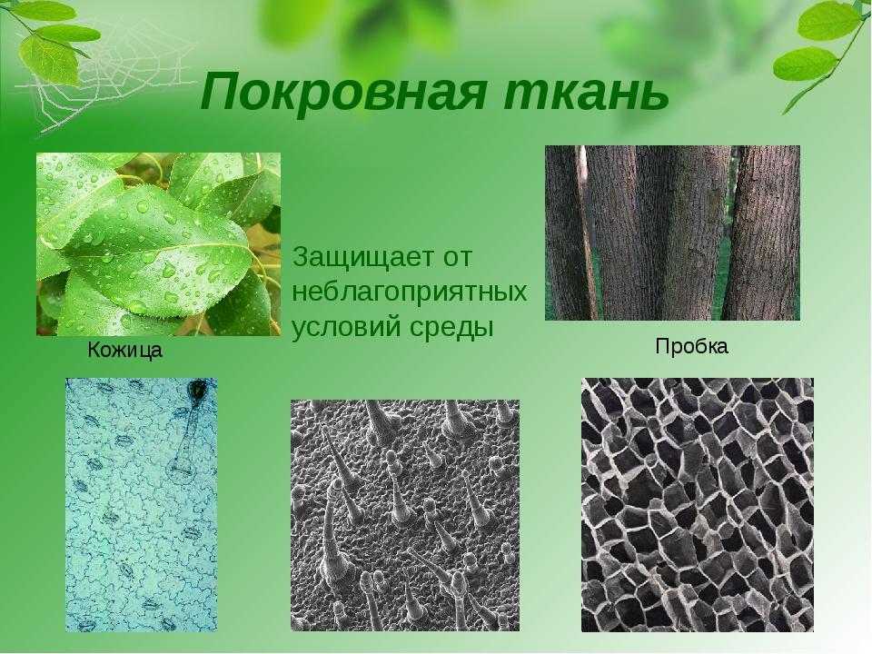 Покровная ткань Кожица Пробка Защищает от неблагоприятных условий среды
