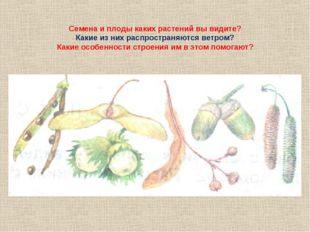 Семена и плоды каких растений вы видите? Какие из них распространяются ветром