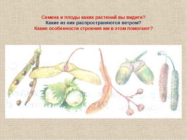 Семена и плоды каких растений вы видите? Какие из них распространяются ветром...