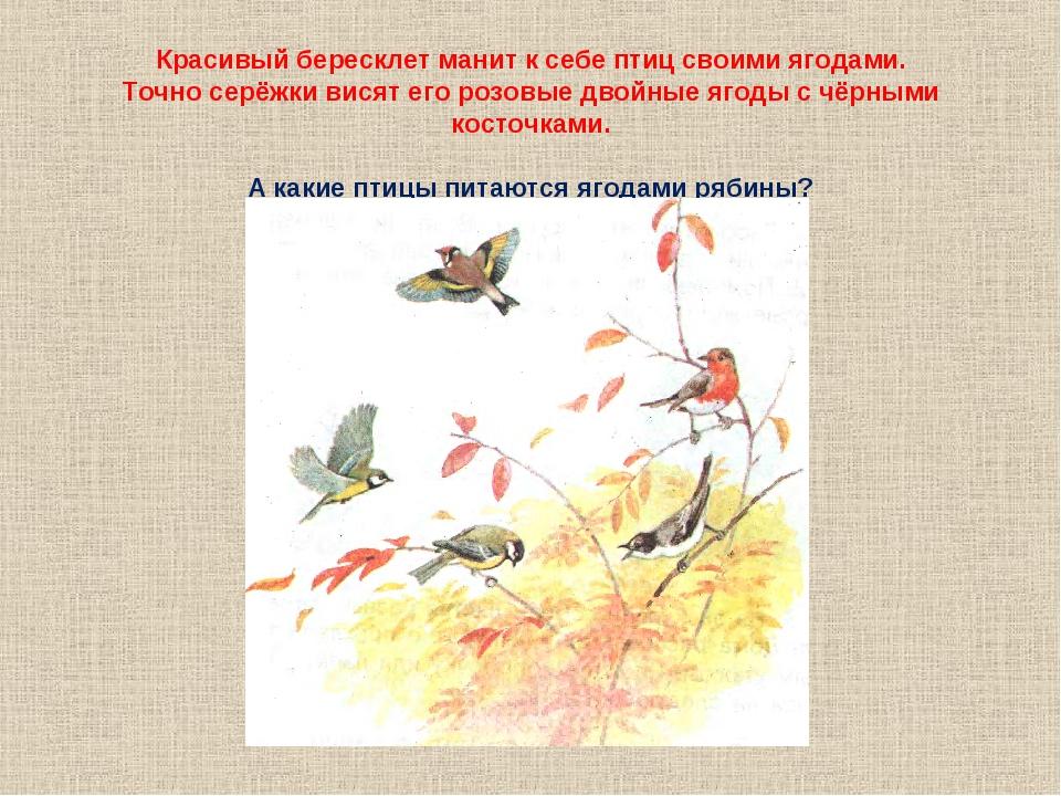 Красивый бересклет манит к себе птиц своими ягодами. Точно серёжки висят его...