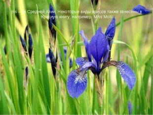 Iris – из Средней Азии. Некоторые виды ирисов также занесены в Красную книгу,