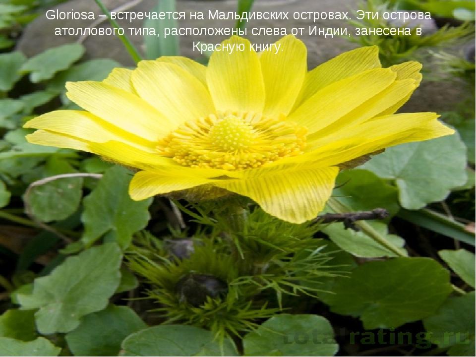 Gloriosa – встречается на Мальдивских островах. Эти острова атоллового типа,...