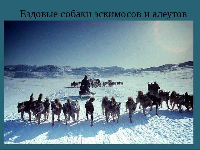 Ездовые собаки эскимосов и алеутов