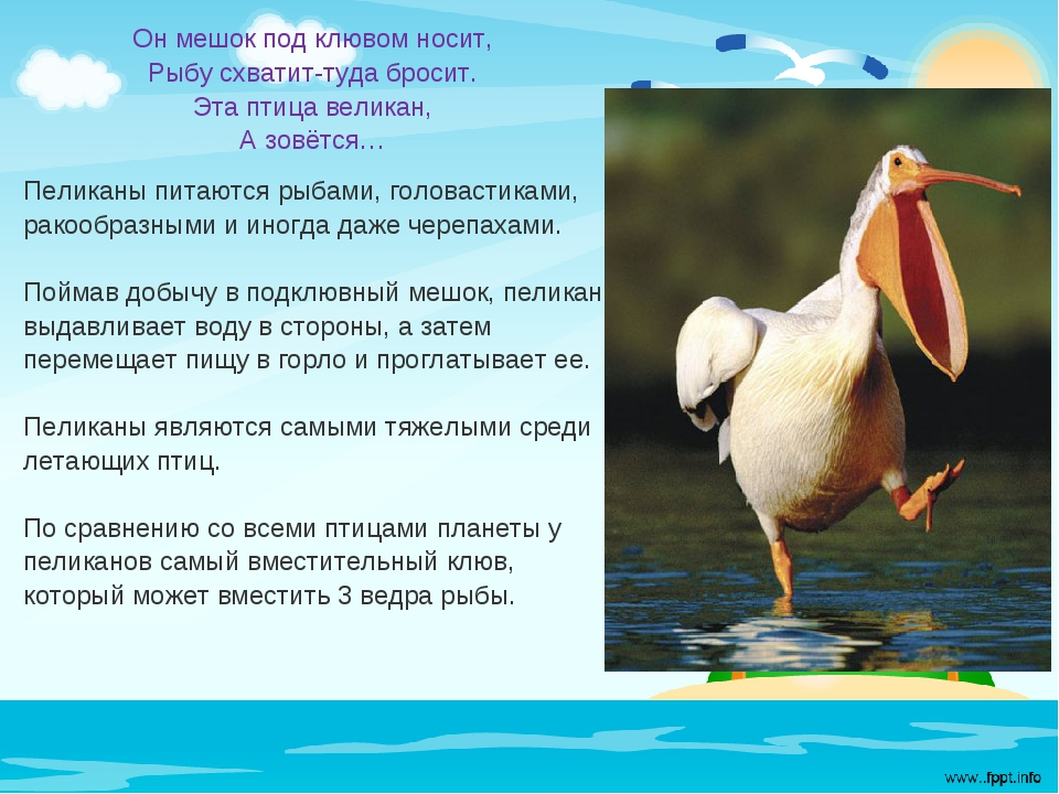 Он мешок под клювом носит, Рыбу схватит-туда бросит. Эта птица великан, А зов...