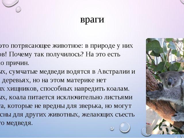 враги Коала – это потрясающее животное: в природе у них нет врагов! Почему та...