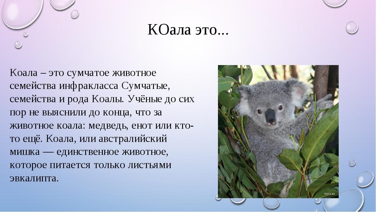 КОала это... Коала – это сумчатое животное семейства инфракласса Сумчатые, се...