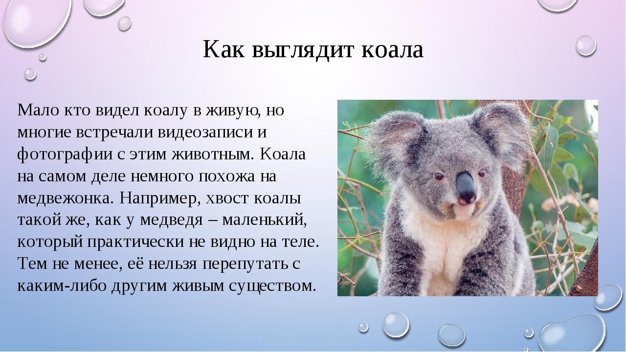 Как выглядит коала Мало кто видел коалу в живую, но многие встречали видеозап...