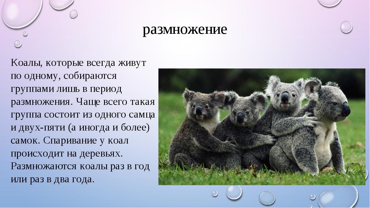 размножение Коалы, которые всегда живут по одному, собираются группами лишь в...