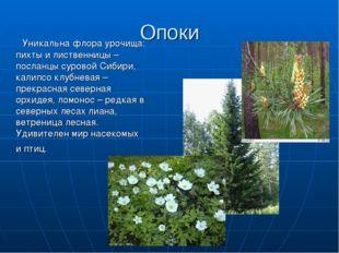 Опоки Уникальна флора урочища: пихты и лиственницы – посланцы суровой Сибири,