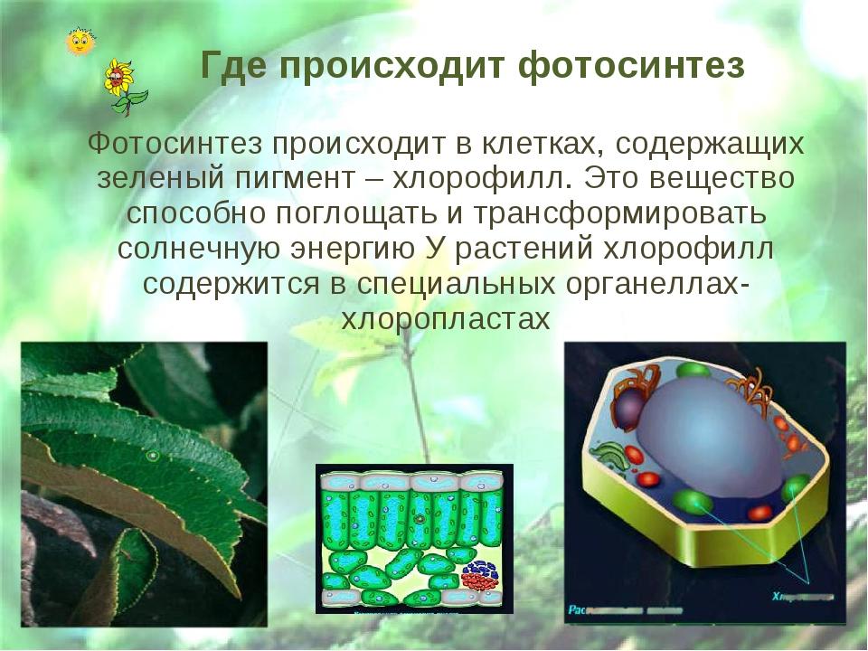 Где происходит фотосинтез Фотосинтез происходит в клетках, содержащих зеленый...