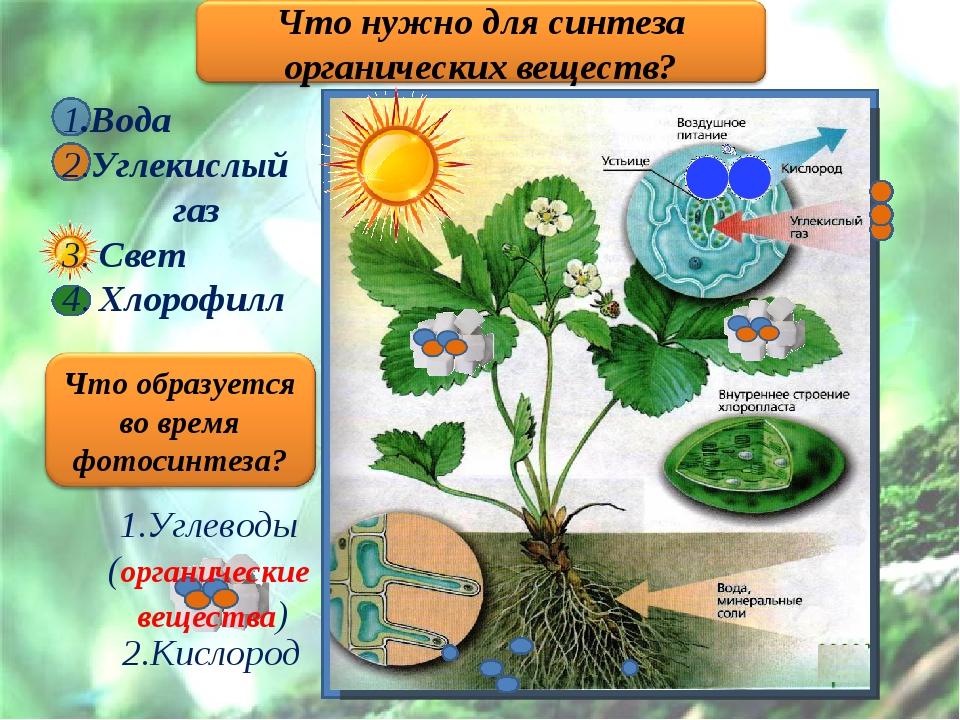 1.Вода 2.Углекислый газ 3. Свет 4. Хлорофилл 1.Углеводы (органические веществ...