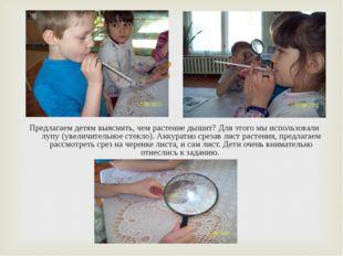 Предлагаем детям выяснить, чем растение дышит? Для этого мы использовали лупу