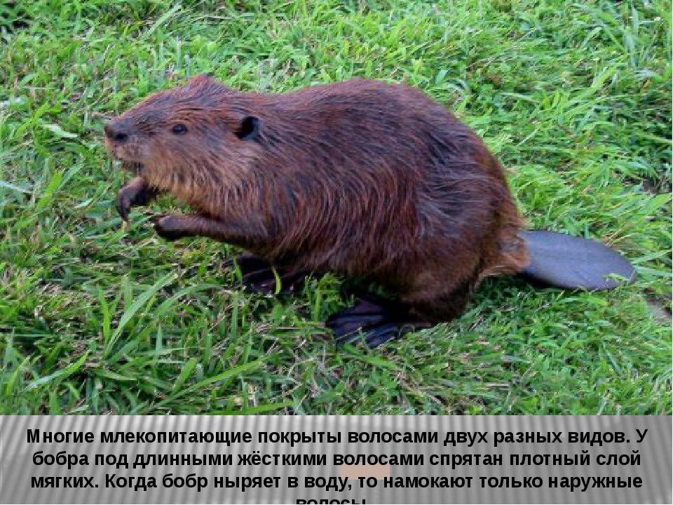 Многие млекопитающие покрыты волосами двух разных видов. У бобра под длинным...