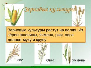 Зерновые культуры Зерновые культуры растут на полях. Из зёрен пшеницы, ячмен
