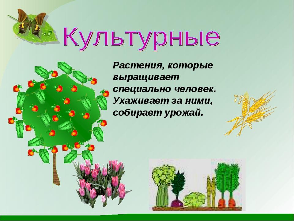Растения, которые выращивает специально человек. Ухаживает за ними, собирает...