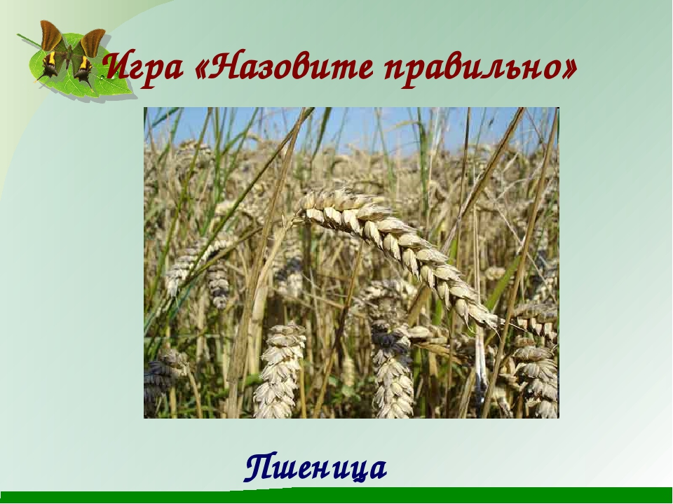Игра «Назовите правильно» Пшеница