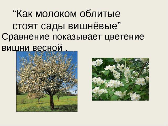 """""""Как молоком облитые стоят сады вишнёвые"""" Сравнение показывает цветение вишни..."""