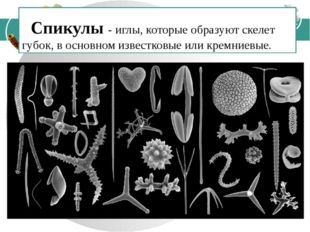 Спикулы - иглы, которые образуют скелет губок, в основном известковые или кр