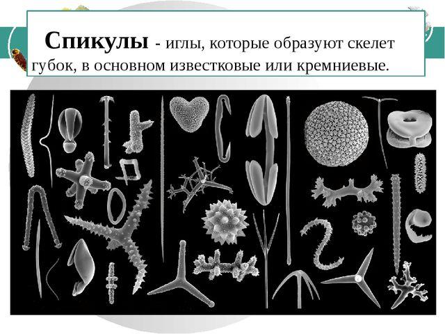 Спикулы - иглы, которые образуют скелет губок, в основном известковые или кр...