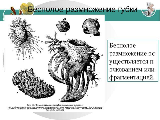 Бесполое размножение губки Бесполое размножениеосуществляетсяпочкованиемил...