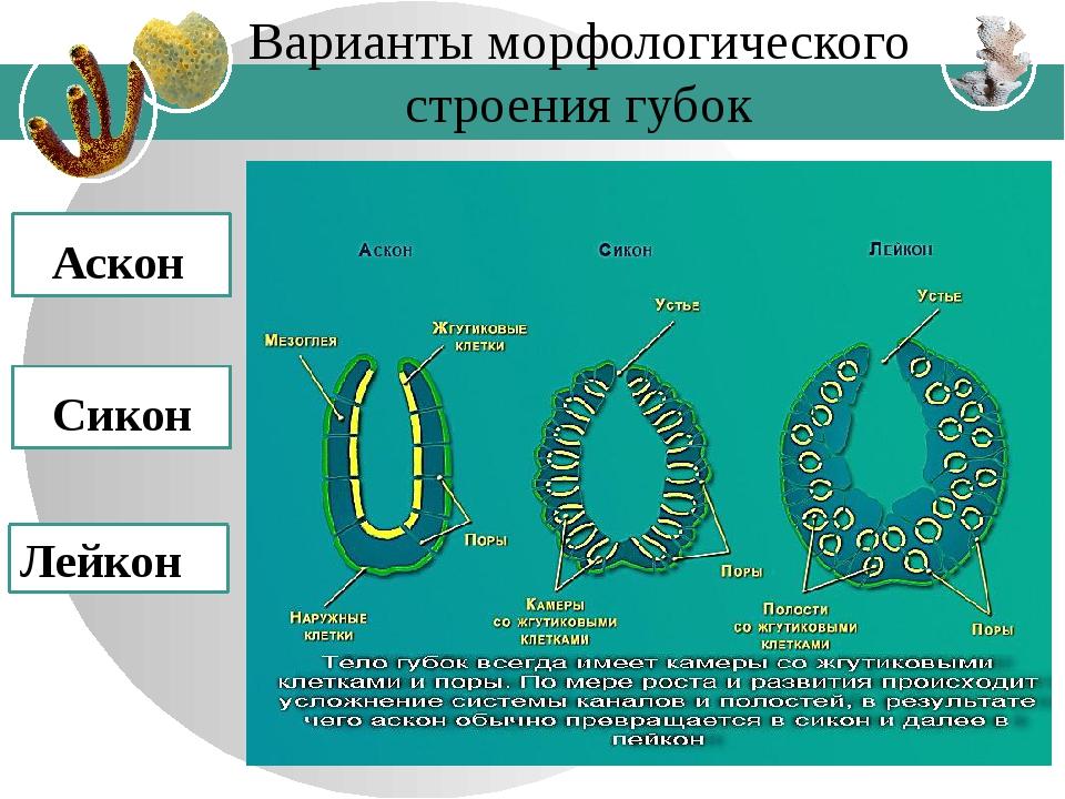 Варианты морфологического строения губок Аскон Сикон Лейкон