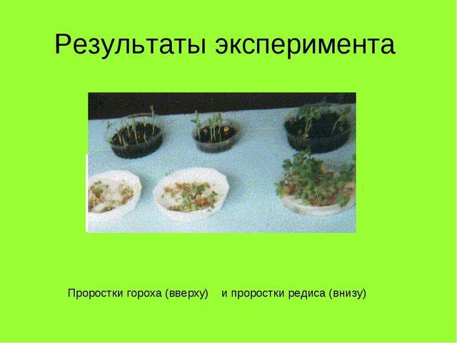 Результаты эксперимента Проростки гороха (вверху) и проростки редиса (внизу)
