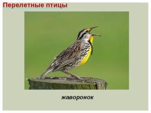 Перелетные птицы жаворонок