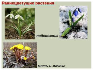 Раннецветущие растения мать-и-мачеха подснежник