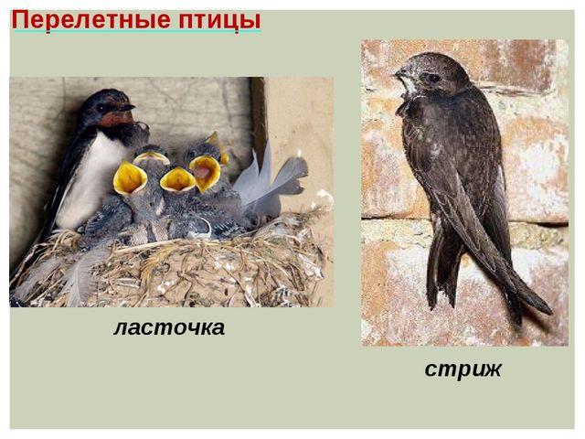 Перелетные птицы стриж ласточка