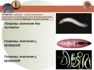 Покровы эпителия без кутикулы Покровы эпителия с кутикулой Покровы эпителия с