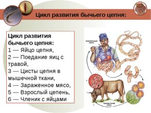 Цикл развития бычьего цепня: 1 — Яйцо цепня, 2 — Поедание яиц с травой, 3 — Ц