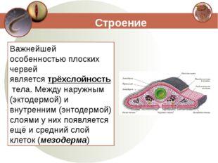 Строение Важнейшей особенностью плоских червей являетсятрёхслойностьтела. М