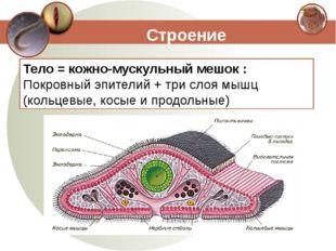 Строение Тело = кожно-мускульный мешок : Покровный эпителий + три слоя мышц (