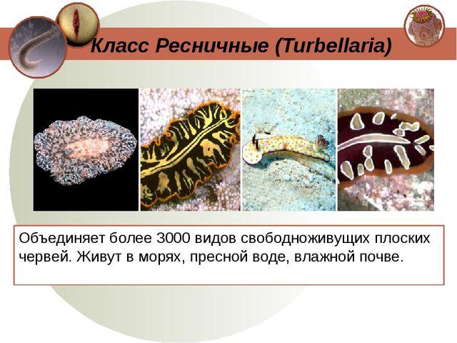 Объединяет более 3000 видов свободноживущих плоских червей. Живут в морях, пр...