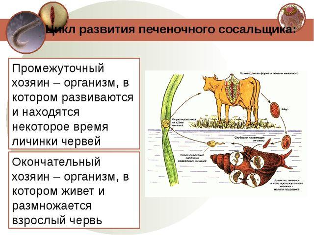Цикл развития печеночного сосальщика: Промежуточный хозяин – организм, в кото...
